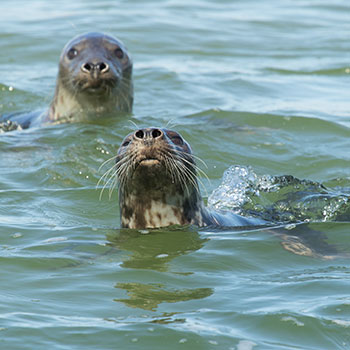 Seals at Natureland