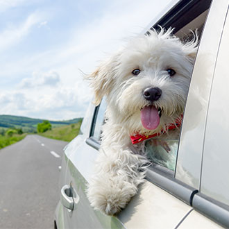 Travelling with dogs – a car with a white dog leaning out of the window