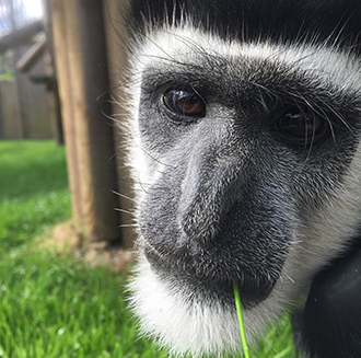 A Happy Ending for Maarten the Colobus Monkey!