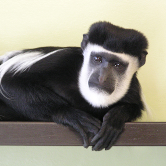 Handsome monkey with GSOH seeks a match this Valentine's Day