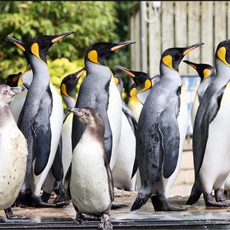 penguins celebrating World Penguin Day